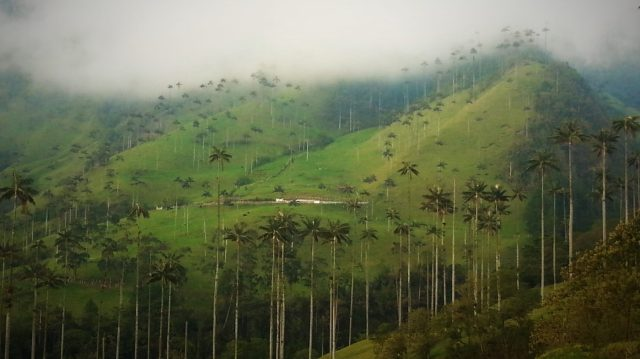 Wax Palm Trees in Cocora Valley Colombia