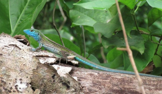 lizard in Tayrona Park