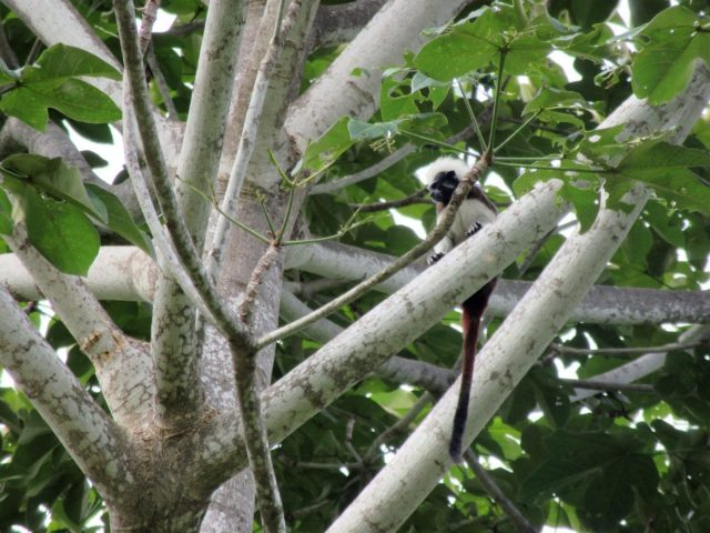 Cotton-Top Tamarin in Parque Tayrona Park