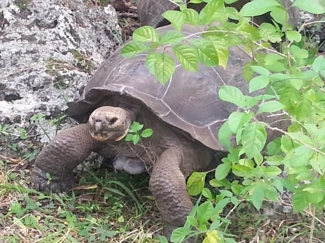 Seeing giant tortoises in the wild was one of my Galapagos Highlights Galapagos cruise or island hopping