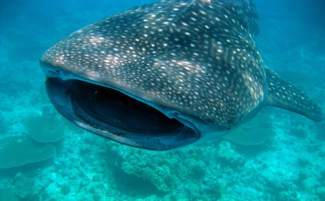 whale shark - scuba diving in Utila Honduras - best diving in the world