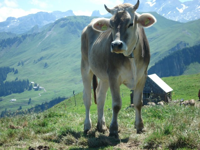 Enjoy some Swiss cheese from the cows - Eating in Switzerland on a Budget
