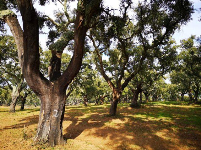 A Cork Tree near Evora Portugal - The Alentejo Region produces a lot of cork!