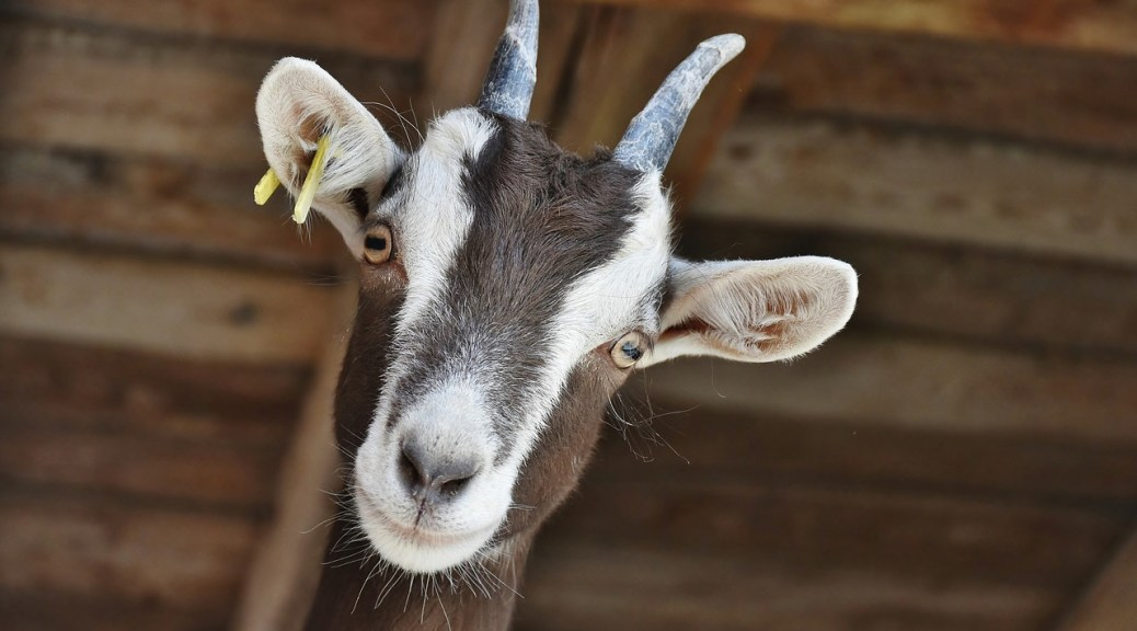 Picture of a Goat - You Could Volunteer for Work Exchange on a Farm