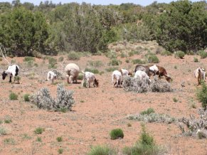 6921760-512-30-small-herd-of-goats-and-sheep-0-copy