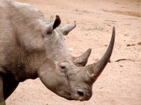 Horn of a rhino