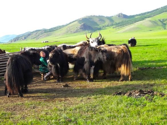 milking yaks mongolia