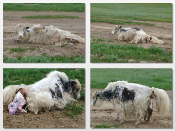 yak giving birth1
