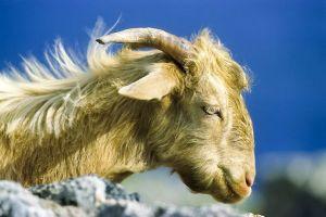 cabra tótem espíritu animal de poder