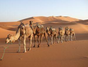 camellos tótem