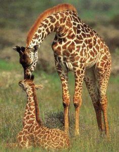 jirafa totem