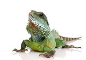 totem iguana