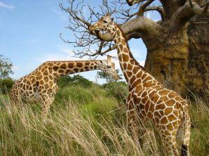 totem giraffe