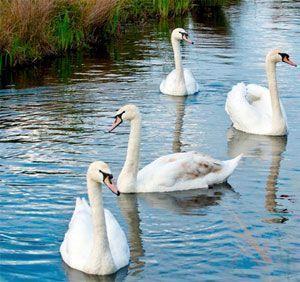 los 4 cisnes hijos de Lir embrujados por Aoife