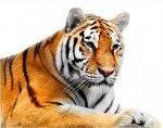 símbolo del tigre