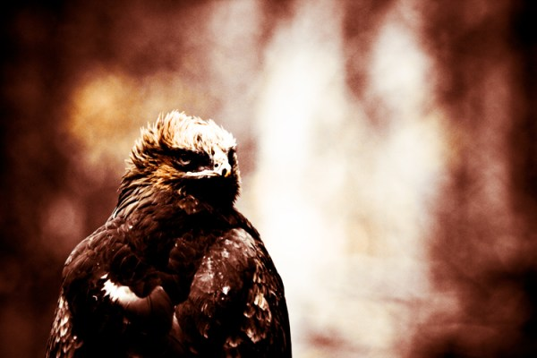 El Bosque - Surreal Wildlife Photography - Eagle