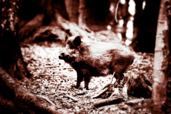 El Bosque - Surreal Wildlife Photography - Wild Boar