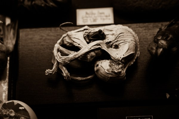 Viktor Wynd's Mummified Cat