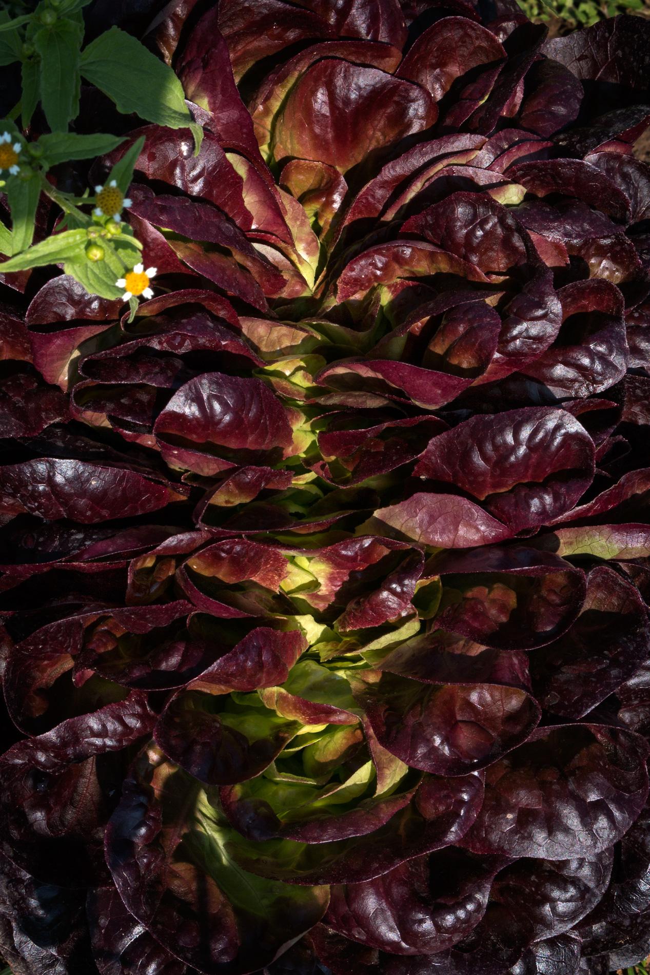 Salat im Freiland