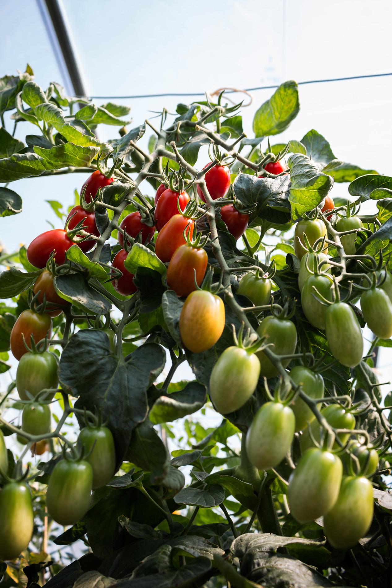 Tomatenrispen