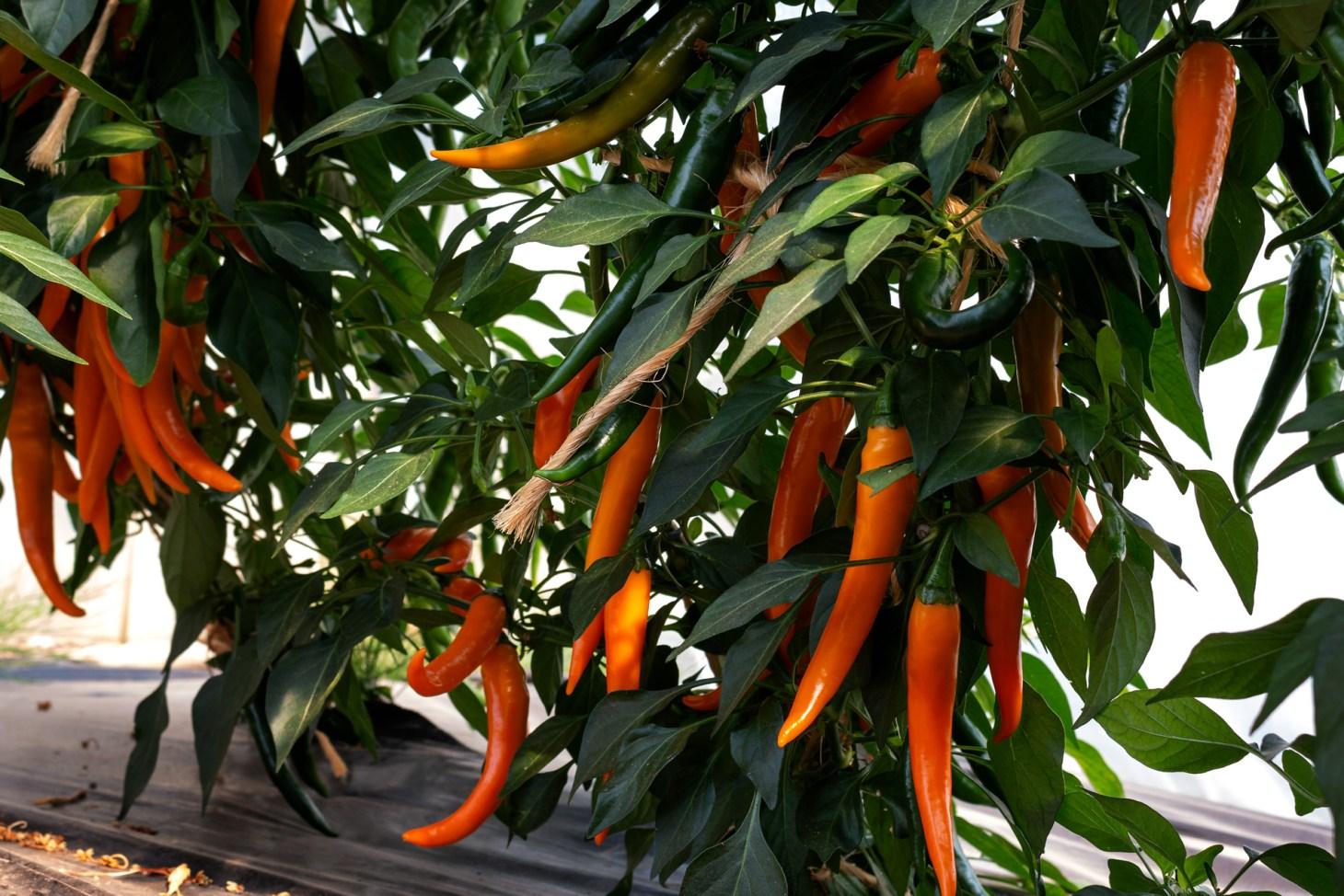 gelbe Pepperoni am Busch