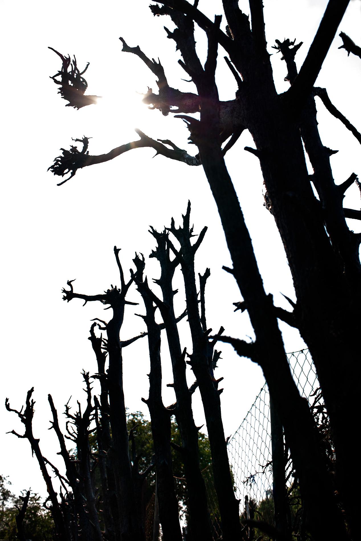 verbrannte Zweige der Hecke