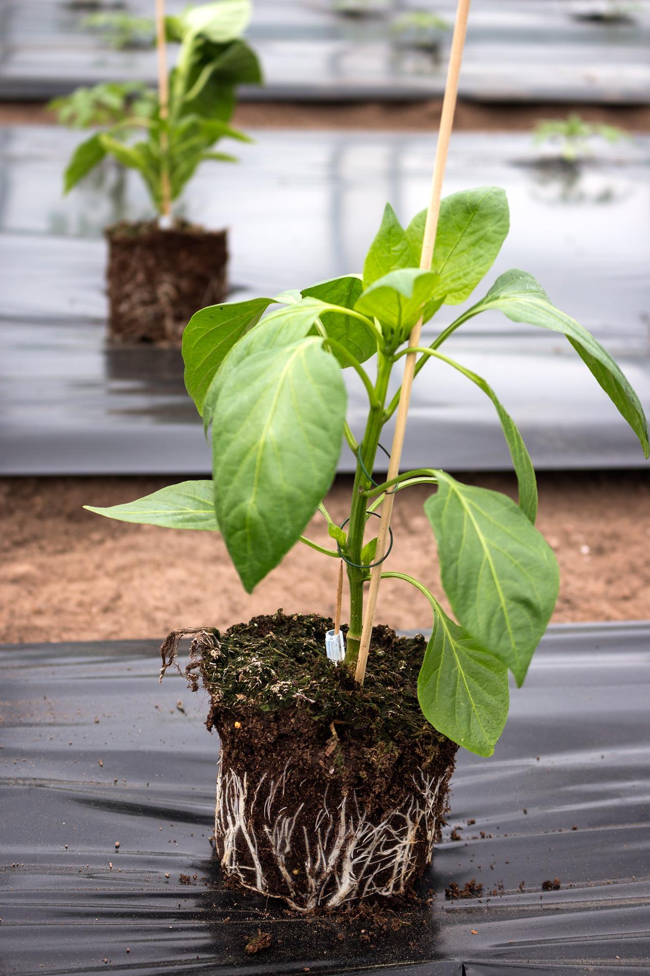 Paprikapflanze-mit-Ballen