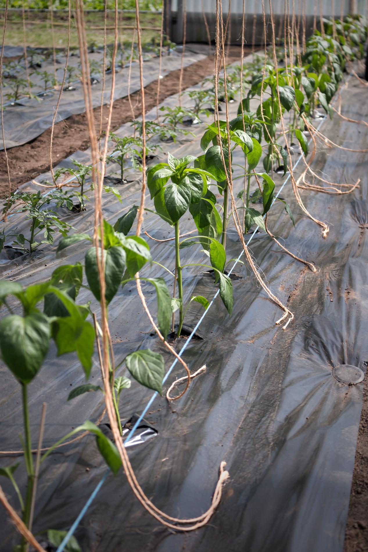 Paprikapflanzen mit Schnur