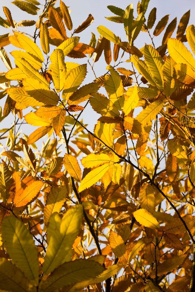 Maronenbaum