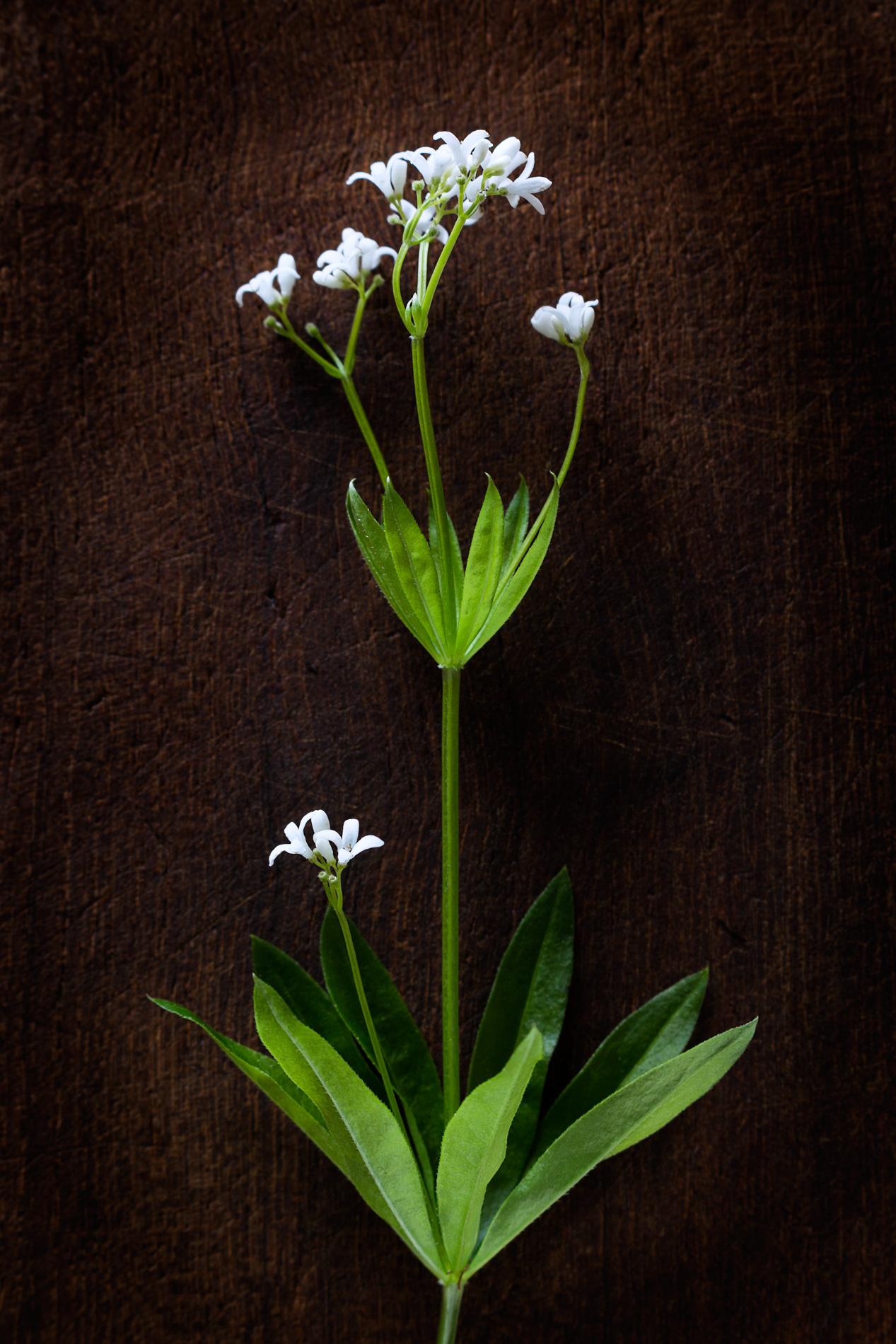 Waldmeisterpflanze