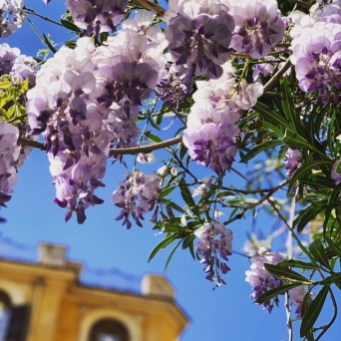 Tuesday, May 5, 2020 – Hyacinths in bloom on my block (taken while walking the dog—one of only three reasons people are allowed to leave their apartments. The others are trips to the grocery store/pharmacy or essential work with a certification). Rome, Italy. Lauren Phillips