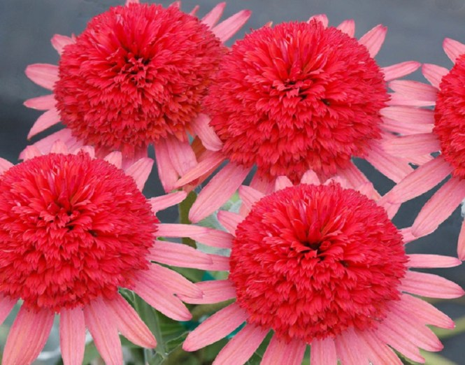 Echinacea Secret Passion 2b