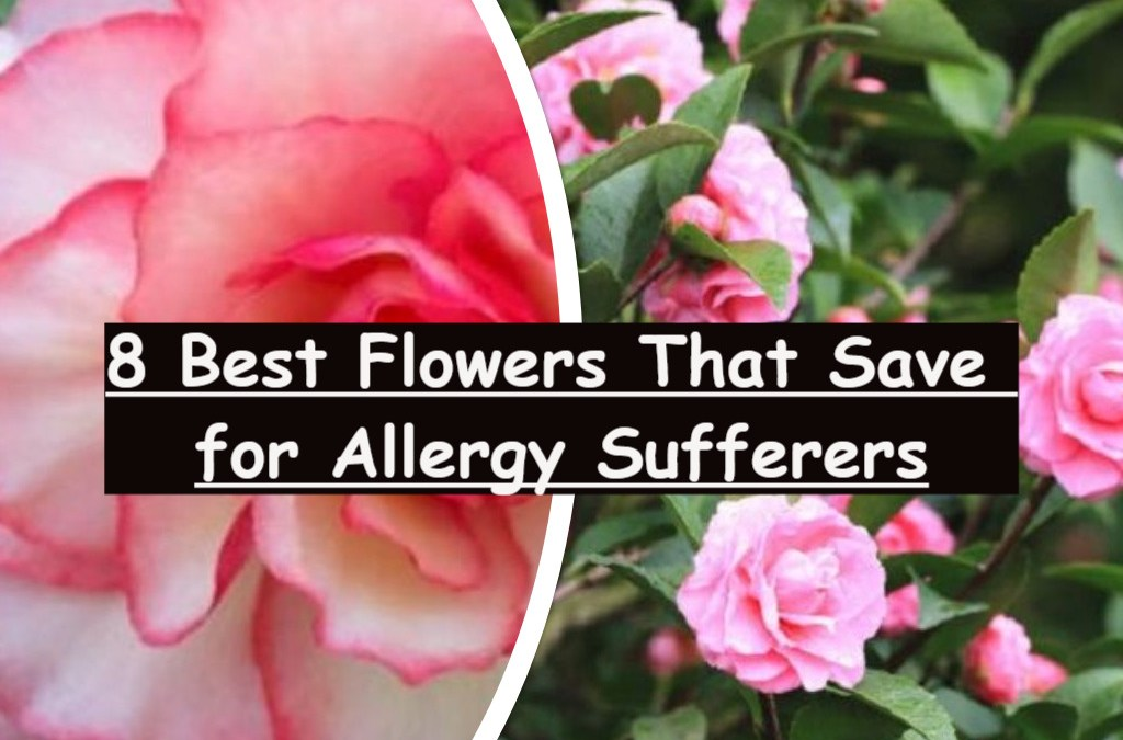 8 Best Flowers That Save for Allergy Sufferers