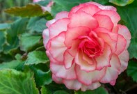 Begonia White-Pink
