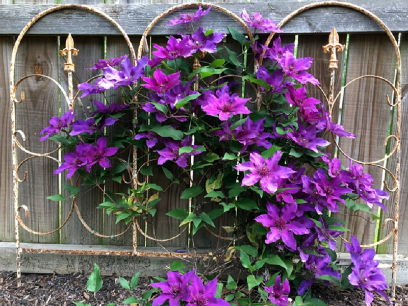 Charming Clematis