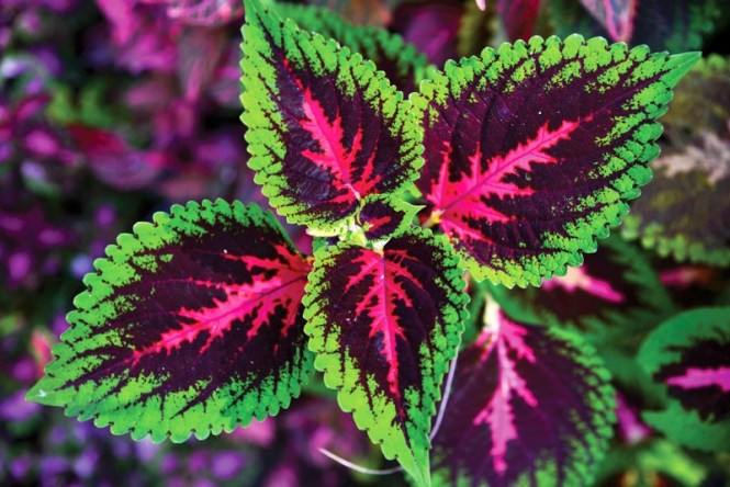 Plectranthus Scutellarioides Or Coleus, A Species Of Flowering Plant In The Family Lamiaceae