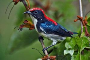Scarlet-backed Flower-Pecker