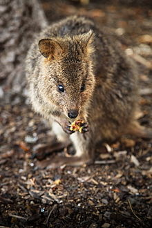 (Source: http://en.wikipedia.org/wiki/Quokka)