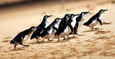 Source: http://www.penguins.org.au/attractions/penguin-parade/