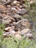 Yellow-footed rock-wallaby (Petrogale xanthopus) at Bunyeroo Gorge, SA