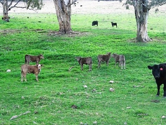 Cow Throwing and Tagging, Jillaroo School