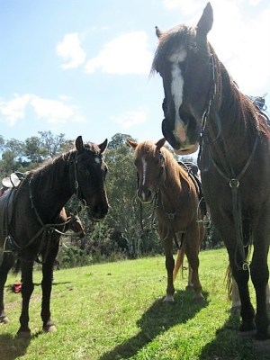 Horses at Jillaroo School, Australia