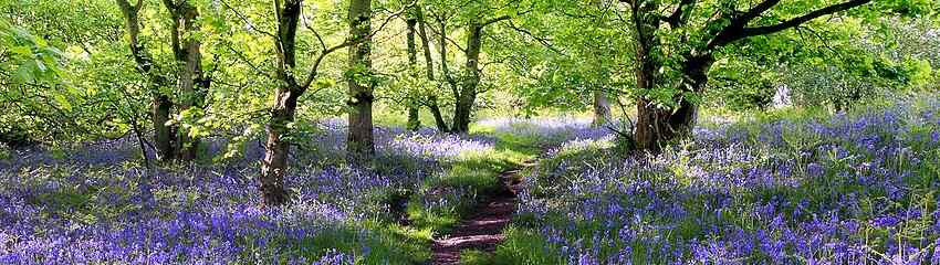 850x240Blue-Bells-Forest-7830