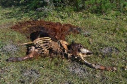 ROTTING CARCASS: One of the several dead animals TotT came across on our visit to the municipal-owned Kruisfontein farm in Alexandria Picture: JON HOUZET