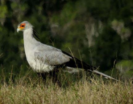 NO MISTAKING IT: The secretarybird is most often found in open grassland, hunting snakes and rodents Picture: TIM COCKCROFT