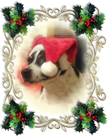 "Decker Rat Terrier ""Duncan"" in his Santa hat"