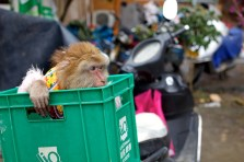 Hiding monkey.