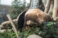 Or for a fat sleepy panda.
