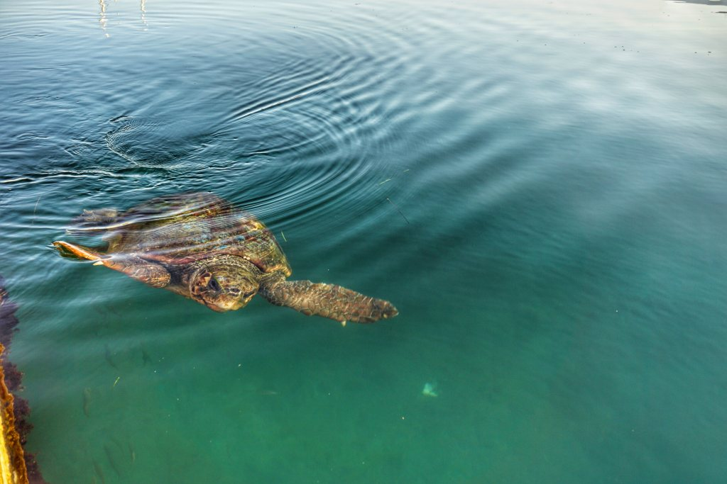 Loggerhead sea turtles Kefalonia