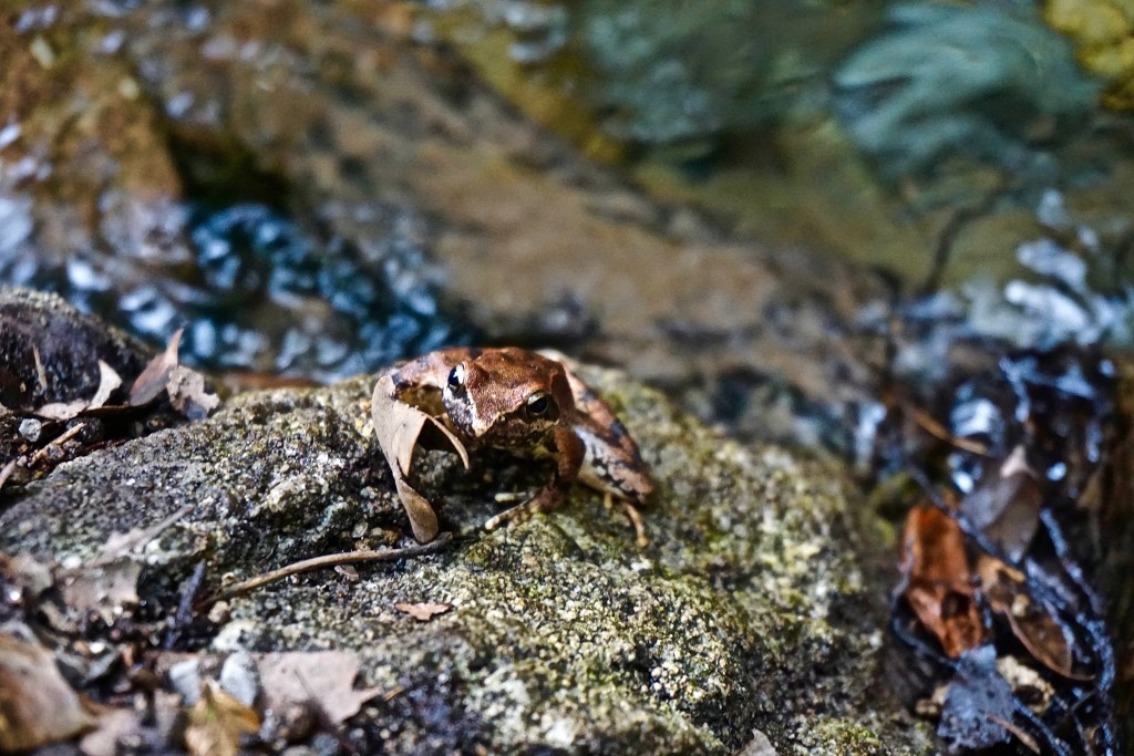 We found this little frog during our Valley of the Ferries walk
